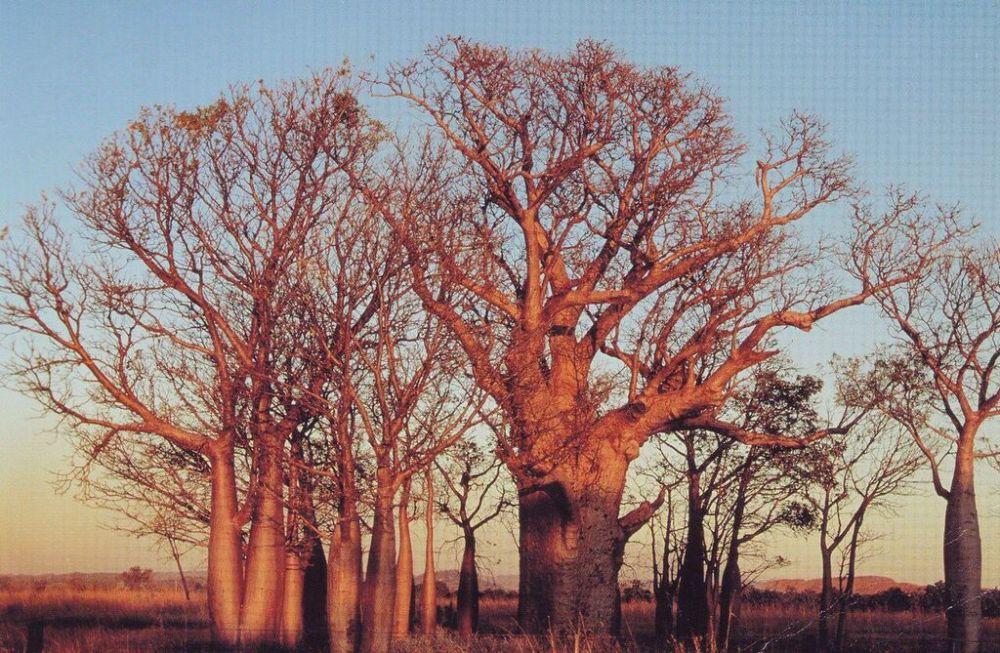 Boab trees, NT