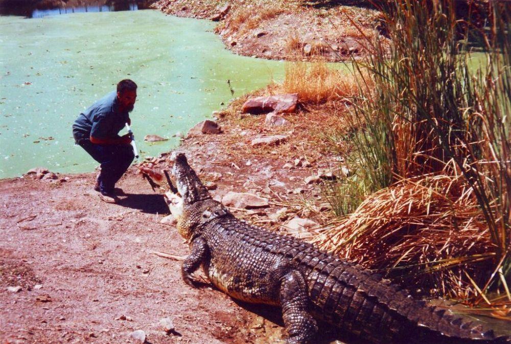 Croc feeding time