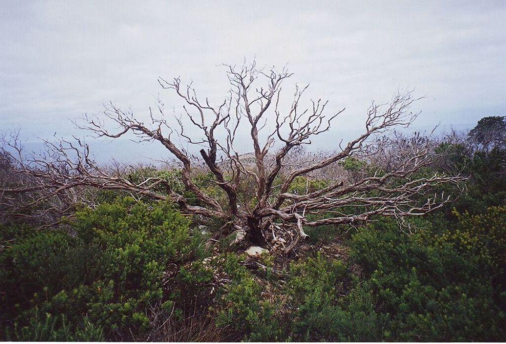 Ghostly tree, National Park near Albany, W.A.