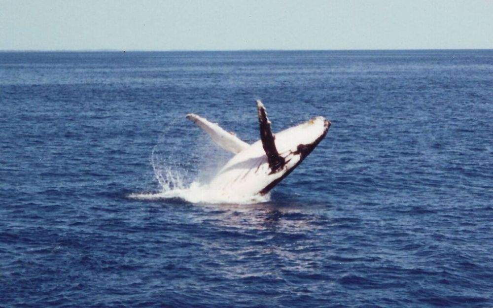Humpback what in Hervey Bay
